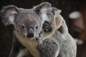 Mamma och joey på Lone Pine Koala Sanctuary i Brisbane, Australien